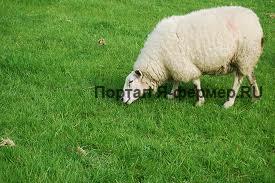 Откорм овец фото