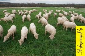 мониезиоз у овец