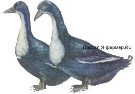 Чёрные белогрудые утки рисунок