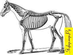 Скелет лошади рисунок