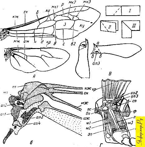 Схема жилкования крыла пчелы и его сочленения с грудью