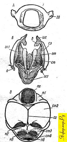 Строение переднегруди у пчелы
