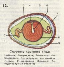 строение яйца с/х птицы, рисунок