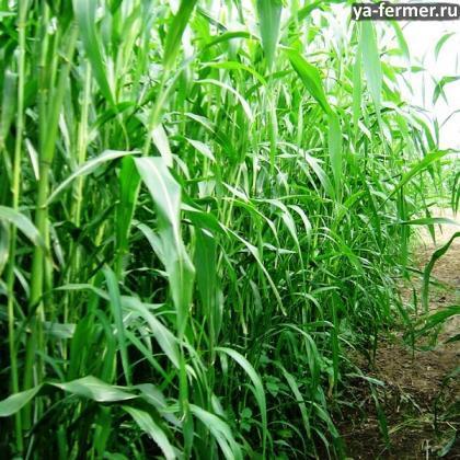 Норма высева суданки на сено на 1 Га?