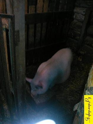 Можно ли кормить свиней просто зерном?