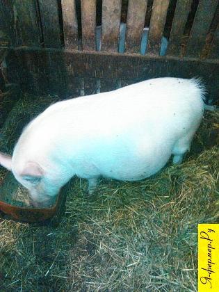 Космические технологии сослужили службу свиноводческой ферме