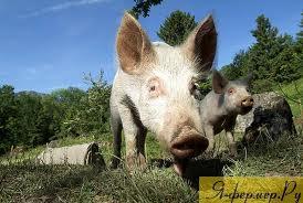 Какие добавки лучше всего давать КРС и свиньям, чтобы быстрей набирали вес?