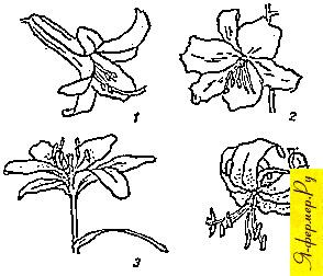 Типы цветков лилий