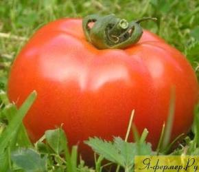 помидор, фото