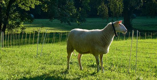 Пять составляющих в питании овец обсуждение, трава в питании овец