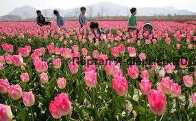 Уход за тюльпанами, фото
