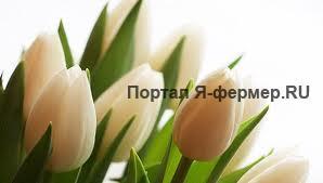 Стойкость тюльпанов к заморозкам