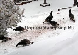 Кормление индеек зимой, фото