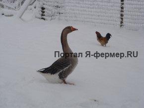 Содержим кур и гусей зимой с выгодой
