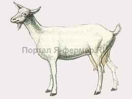 Коза зааненской породы, рисунок