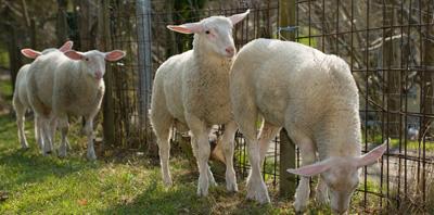 металлическая сетка в качестве ограждения пастбища для овец