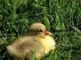 гусёнок, трава, фото