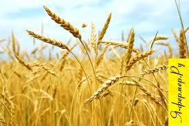 Сколько процентов пшеницы должно быть в составе дроблёнки (помола) для телят?