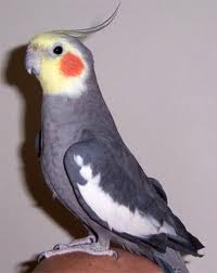 На фото - попугай корелла