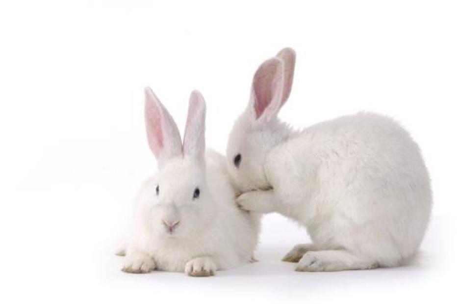 Кролики и поедание кала