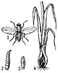 Луковая муха рисунок