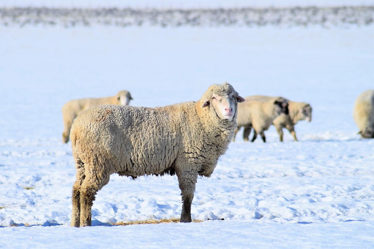 Овцы зимой фото.