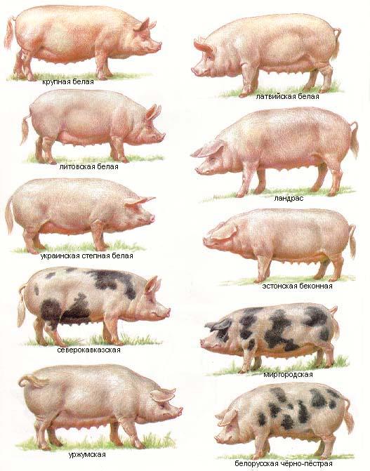 Породы свиней рисунок