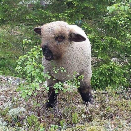 ягнёнок латвийской породы овец
