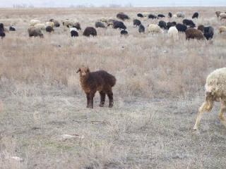 Нормы на выпас овец по площади пастбища