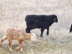 Подбор эдильбаевских овец