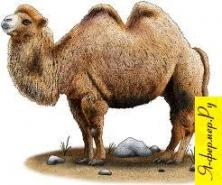 Верблюды: содержание, разведение, уход