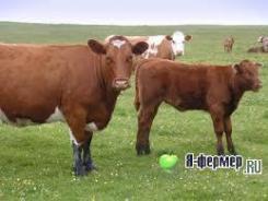 Ацидоз рубца у жвачных животных сельскохозяйственного назначения