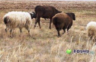 Где можно купить гиссарских или эдильбаевских овец?