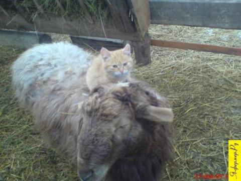 У котят любимое занятие на овцах кататься
