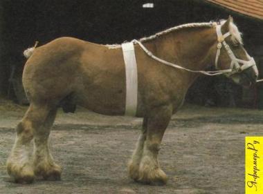 Фламандская тяжеловозная порода лошадей фото