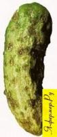 На фото огурец, поражённый оливковой пятнистостью