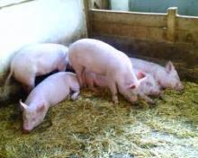 Свиньи в свинарнике. Системы содержания свиней.