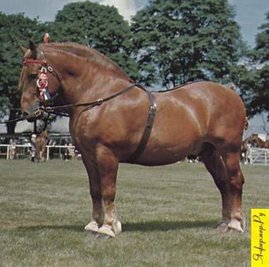 Суффолкская порода тяжеловозных лошадей фото