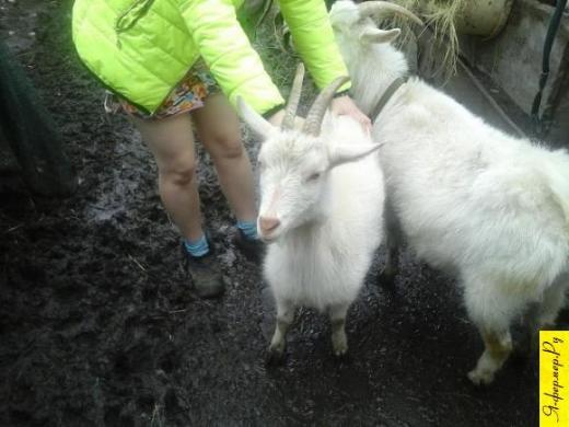 порода коз по фото