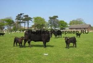 Искуственное осеменение коров фото