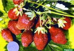 ягоды сорта земляники Кардинал