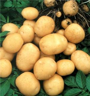 клубни картофеля, фото