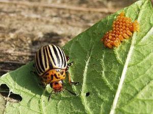 Как бороться с колорадским жуком. История колорадского жука.
