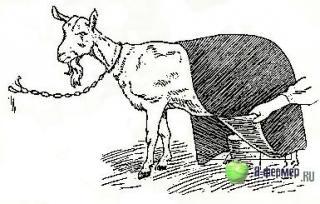 Есть ли способ спасти козу? Как лечить мастит у коз.