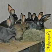 Когда можно пускать кроликов в первую случку