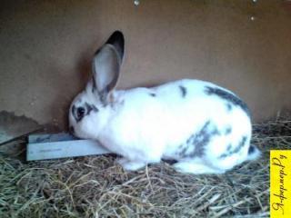 Как рассчитать выход и стоимость продукции кролиководства