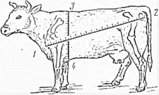 Определение живой массы телят при помощи обмера