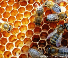 Пчёлы на сотах.