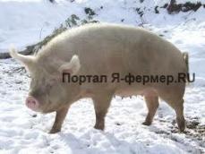 Половая зрелость и возраст первой случки свиней