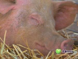 Классическая чума свиней.